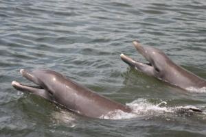 Spotting Bottlenose Dophins in Destin