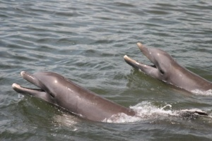 Spotting Bottlenose Dophins in Destin